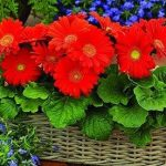 Cách gieo trồng và chăm sóc hoa đồng tiền tại nhà