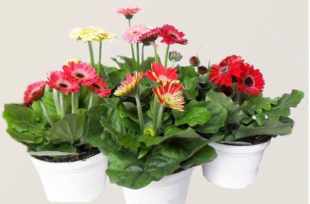 Chăm sóc hoa đồng tiền tốt cây sẽ ra hoa đêu và hoa đẹp