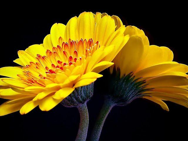 Hoa đồng tiền trồng chậu mang lại sắc màu đẹp tuyệt cho mọi không gian