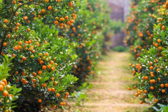 cây cam, quýt, chanh