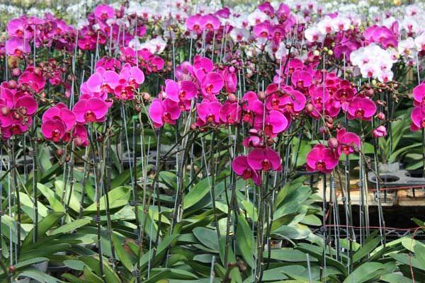 Cây luôn cần được cung cấp dưỡng chất thiết yếu để ra hoa đẹp hơn