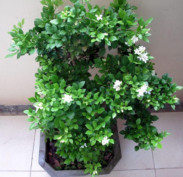Cây nguyệt quế giúp hấp thụ độ ẩm trong không khí và tạo môi trường thoáng đãng
