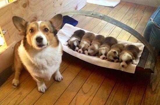 Chó đẻ cần được chăm sóc như thế nào trước, trong và sau khi sinh?