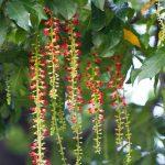 Có nên trồng cây lộc vừng trước cửa nhà không?
