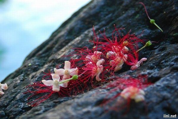 Hoa lộc vừng đỏ rất đẹp