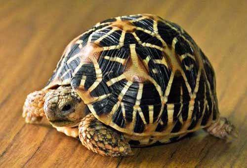 Rùa sao Ấn Độ