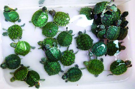 Có những loại rùa cảnh nào và nuôi rùa theo phong thủy