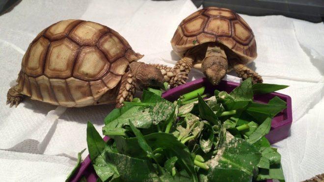 Rùa cảnh ăn rau