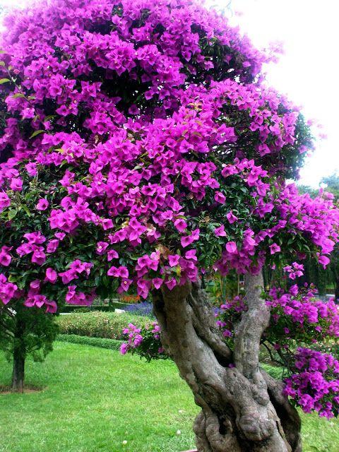 Hoa giấy là loài hoa đẹp, biết cách trồng và chăm sóc, cây sẽ cho hoa quanh năm và có dáng thế đẹp
