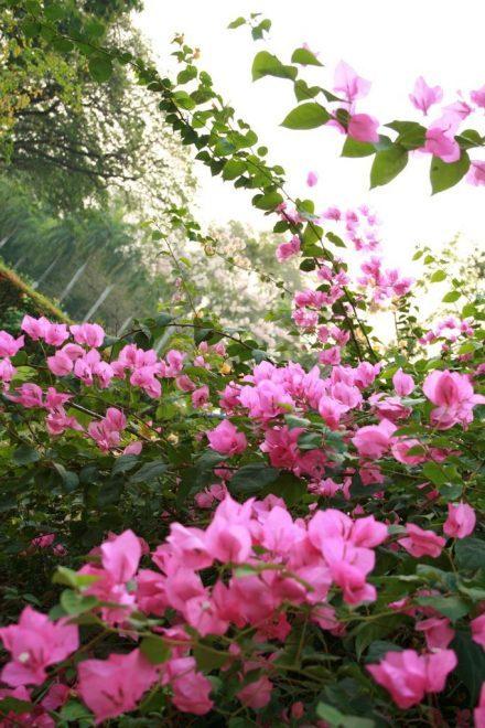 """Hoa giấy là loài hoa """"hữu sắc vô hương"""" khiến nhiều người mê mẩn"""