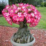 6 Bước quan trọng cắt tỉa cây hoa sứ giúp bạn luôn có hoa sứ đẹp trong nhà làm cảnh