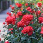 Hướng dẫn cách trồng và chăm sóc hoa hồng trong bồn hoặc chậu