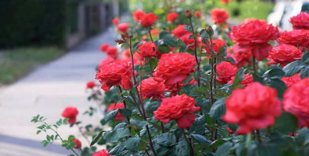 Hoa hồng là biểu tượng cho tình yêu và sắc đẹp