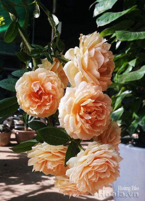 Hoa hồng ngoại cây to khỏe , chùm hoa lớn, cây thuần tự nhiên