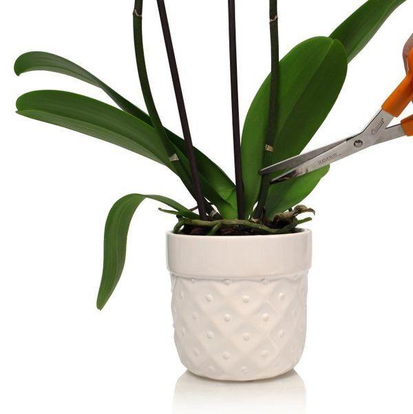 Kích ra hoa là bước giúp lan ra nhiều hoa và đẹp hơn