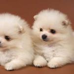 5 giống chó nhỏ nên nuôi trong nhà và đặc điểm của chúng