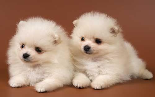 Những chú chó nhỏ vô cùng đáng yêu