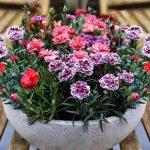 Những loại hoa nên trồng trong chậu để làm đẹp không gian sống