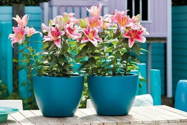 Hoa ly trồng chậu