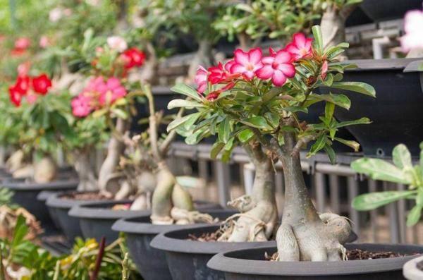 Tạo hình là bước quan trọng để cây hoa sứ có bộ rễ đẹp nhất