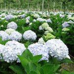 Ý nghĩa và cách trồng hoa cẩm tú cầu tại nhà