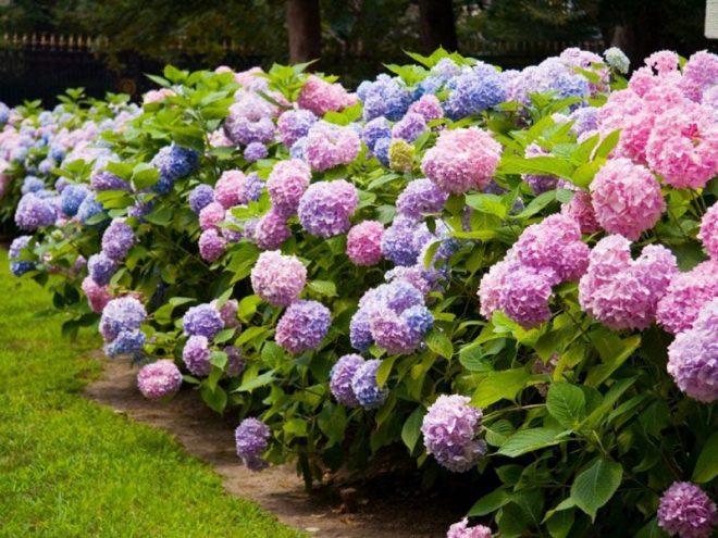 Hoa cẩm tú cầu rục rỡ