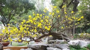 Mách bạn cách chăm sóc mai vàng sau tết để cây luôn cho hoa đúng dịp