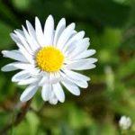 Có khi nào bạn thắc mắc về ý nghĩa của hoa cúc?
