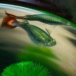 Những thông tin bạn cần biết về cá bảy màu đẻ con
