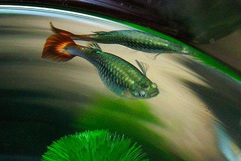 Cá Bảy Màu đẻ Con