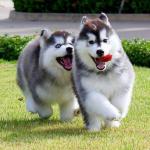 Bảng giá và kinh nghiệm mua chó alaska bạn nên tham khảo
