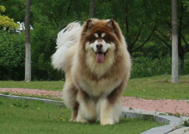 alaska giant