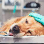 Cách phòng tránh bệnh nguy hiểm Care và Parvo ở chó mà bạn cần phải biết