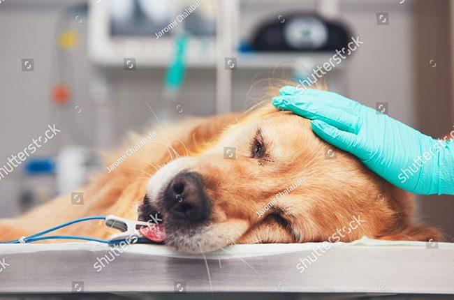 bệnh care và parvo ở chó