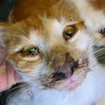 Cách chữa bệnh giảm bạch cầu ở mèo