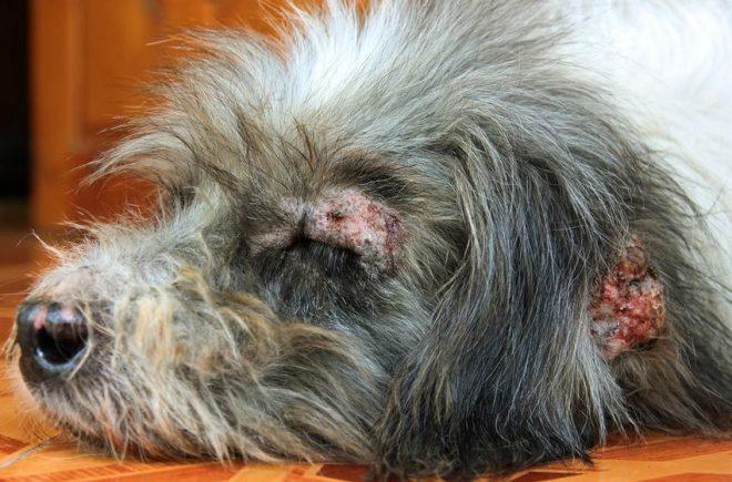 Bệnh xà mâu hay còn gọi là bệnh Domedex ở chó