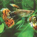 Cá bảy màu – Cách chăm sóc nuôi dưỡng sinh sản của cá bảy màu