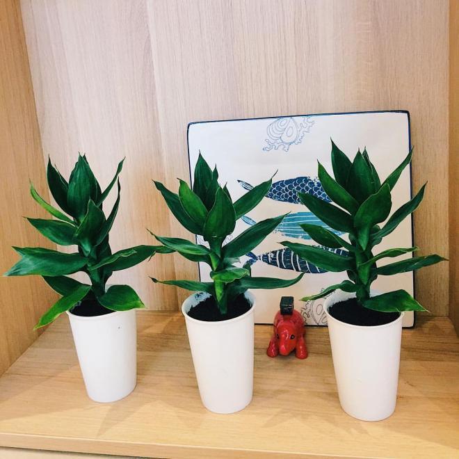 Cách trồng cây phát tài búp sen