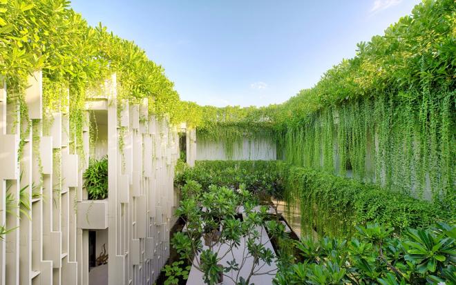 trồng cây cúc tần Ấn Độ ở ngoài hiên nhà