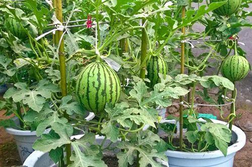 Trồng cây ăn quả trong chậu có thể thực sự khó khăn hay không?
