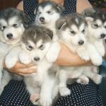 Đặc điểm và cách chăm sóc loài chó alaska có thể bạn chưa biết