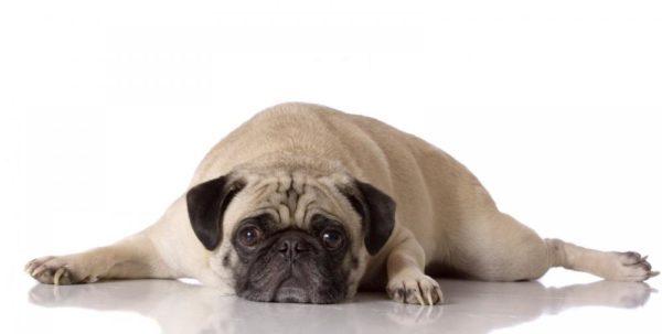 Chó đang mang thai cũng cần có chế độ dinh dưỡng đặc biệt