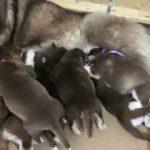 Chó mang thai bao nhiêu ngày thì đẻ và mẹo giúp bạn nhận biết chó sắp đẻ