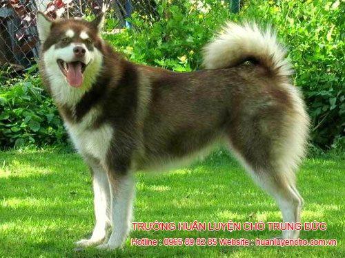 đặc điểm chó alaska