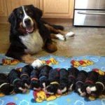 Dấu hiệu chó mang thai, chó mang thai mấy tháng thì đẻ?