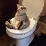 Dạy mèo cách đi vệ sinh đúng chỗ và dạy đi vệ sinh bằng bồn cầu.