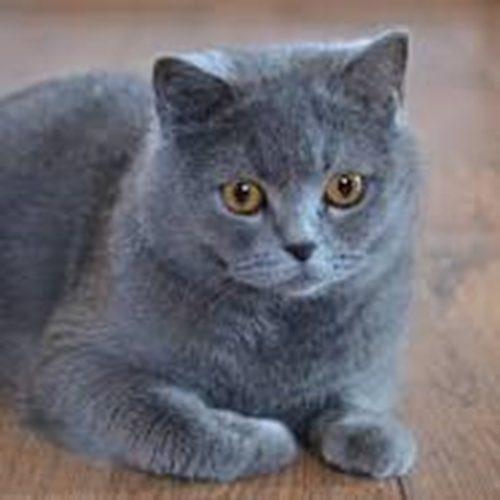 Mèo Anh Lông Ngăn