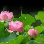 HOA SEN Quốc hoa Việt Nam – Cách trồng hoa sen trong chậu