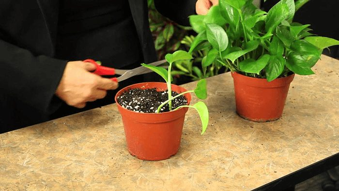 kỹ thuật trồng cây trầu bà