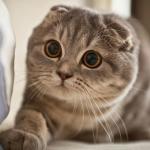 Cùng tìm hiểu về loài mèo tai cụp chân ngắn đáng yêu Scottish Fold